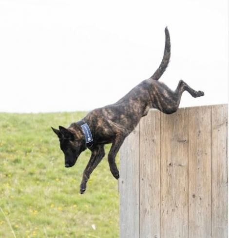 A dog participates in training at Svalinn ranch in Montana.