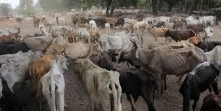 Cattle from six counties that have been affected by the drought arrive at the Kenya Meat Commission on February 8, 2017.
