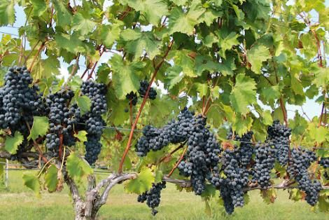 A grape farm
