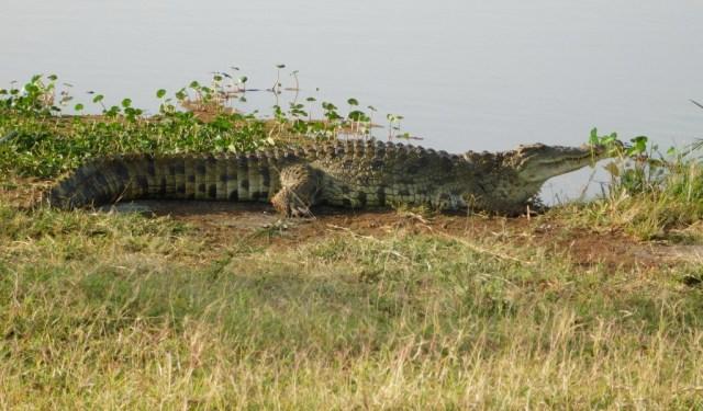 Nairobi Outskirts Day Tour - Crocodile at Nairobi National park