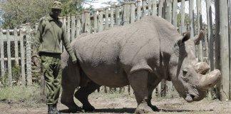 Kenyan-Collective-Sudan-Last-Male-Northern-White-Rhino
