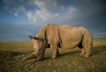 The Race To Save The Northern White Rhinos Continues, Scientists Successfully Harvest Eggs