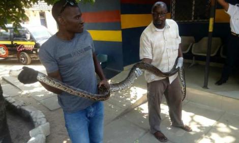 KWS officers display the python that was nabbed at the Likoni crossing channel on February 11