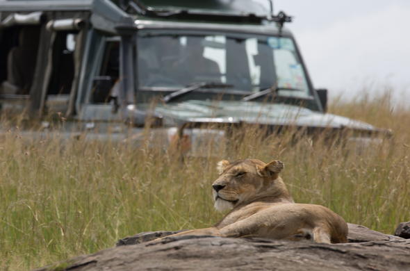 lioness and vehicle