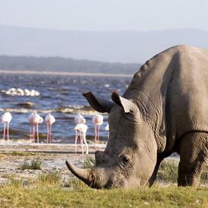 African safari tours White rhino grazing on the banks of Lake Nakuru Kenya