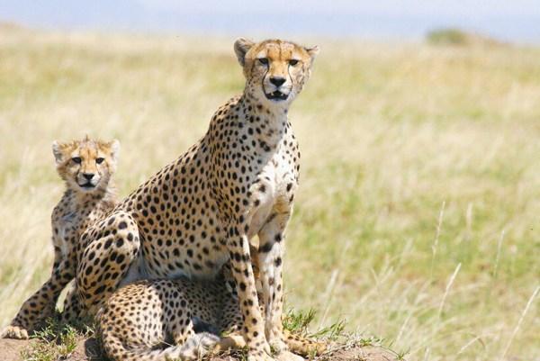 Kenya budget safaris tours cheetah and cubs Masai Mara