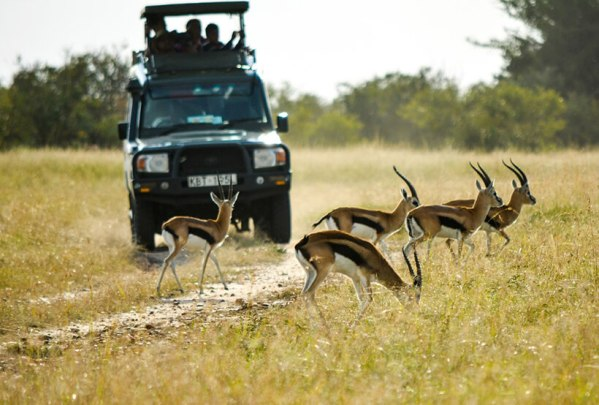 Safari in Kenya game drive Impalas