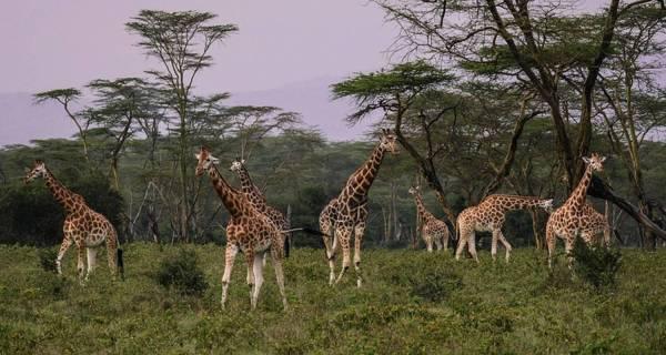 African safari Kenya Giraffes in Lake Nakuru National Park