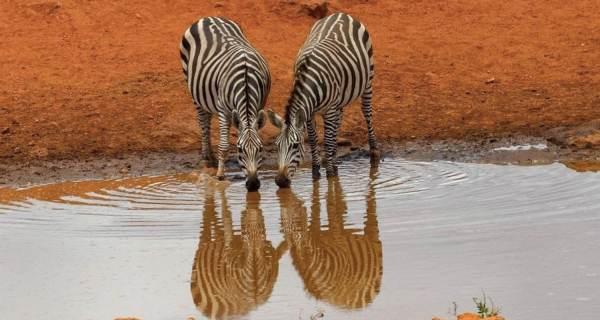 Kenya safari tours Zebras drinking
