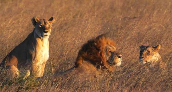 Lion and lioness African safari tour Kenya Masai Mara