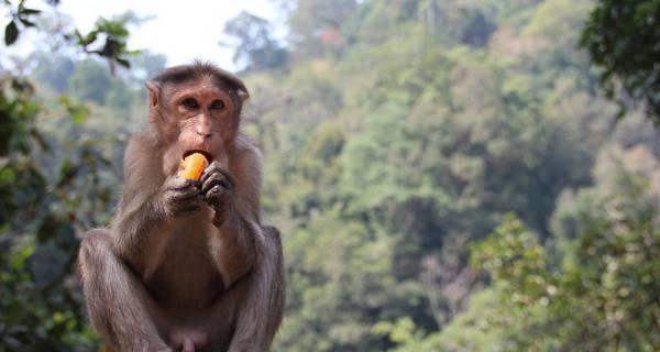 Monkey eating Lake Naivasha Kenya safari