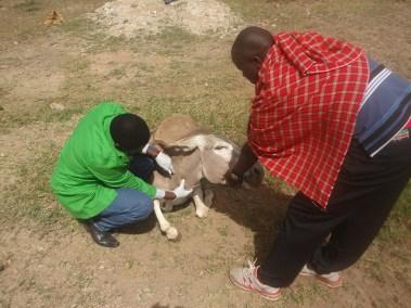 Medical examination of injured donkey
