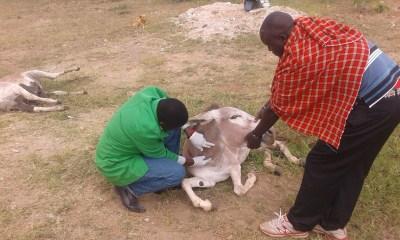 Examining a sick donkey