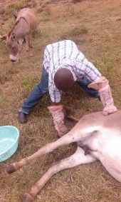 Attending to  a donkey