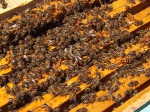 Flagstaff Honey Bees Royal Kenyon BeeWorks