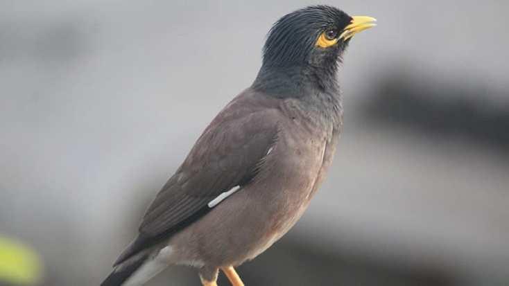 Macam Macam Burung Peliharaan - Burung Beo