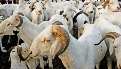 Opération Tabaski: 810 mille moutons attendus