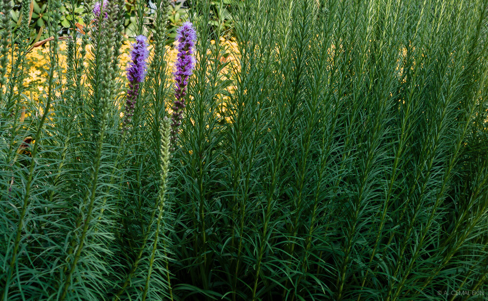Liatris with coreopsis peeking from behind