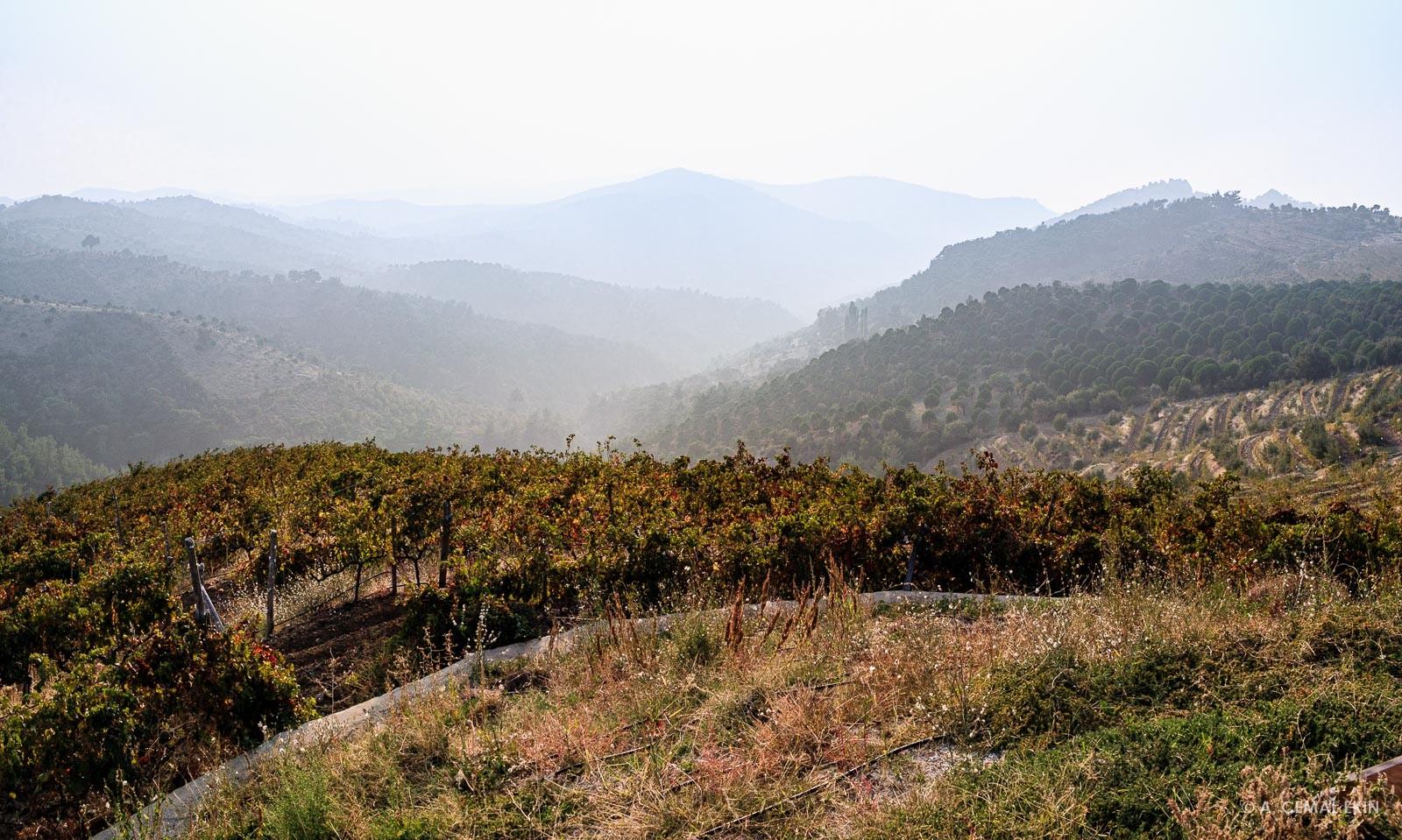 Rolling hills under fog, vineyard in foreground