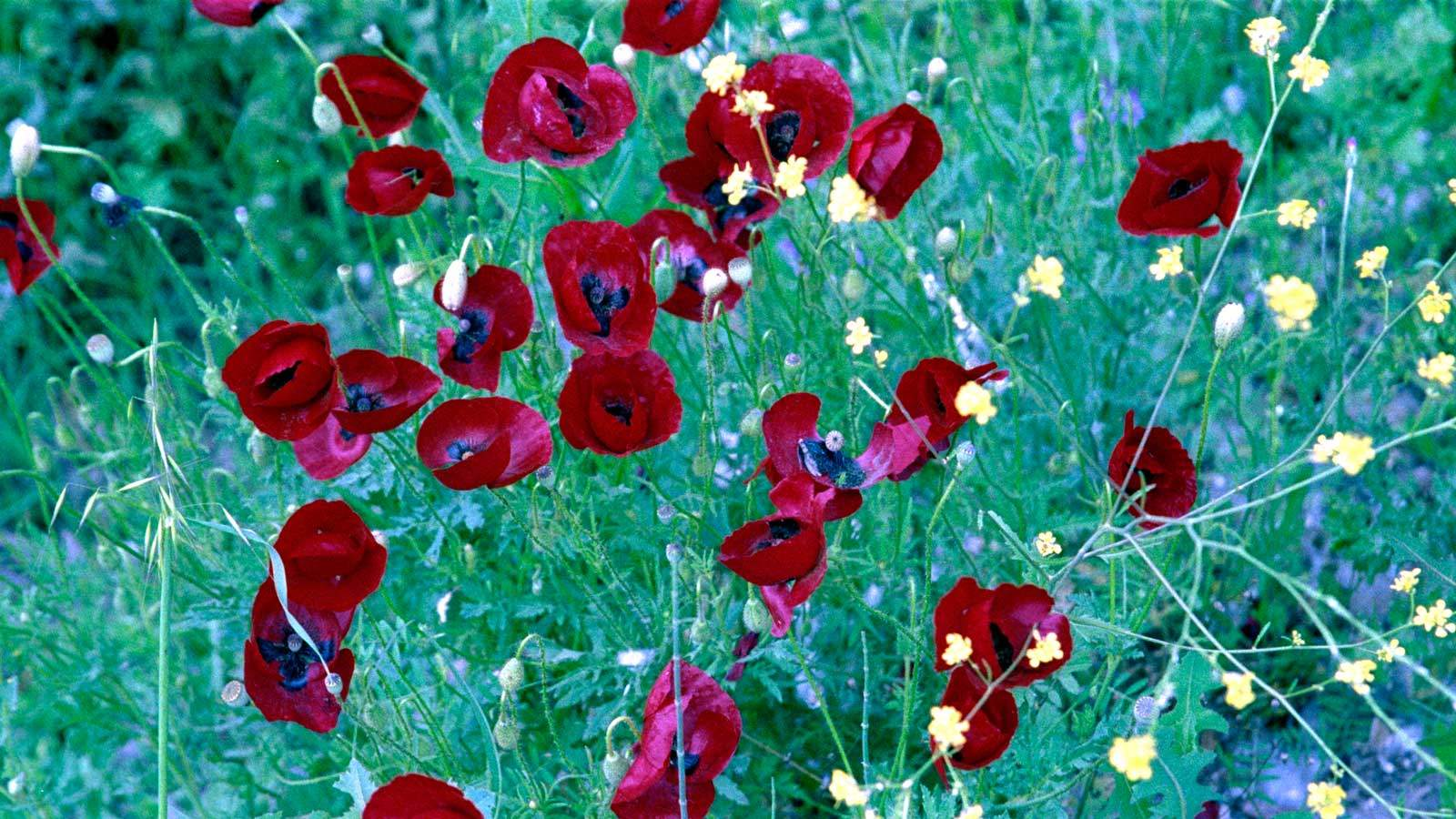 Poppies in the field - Original
