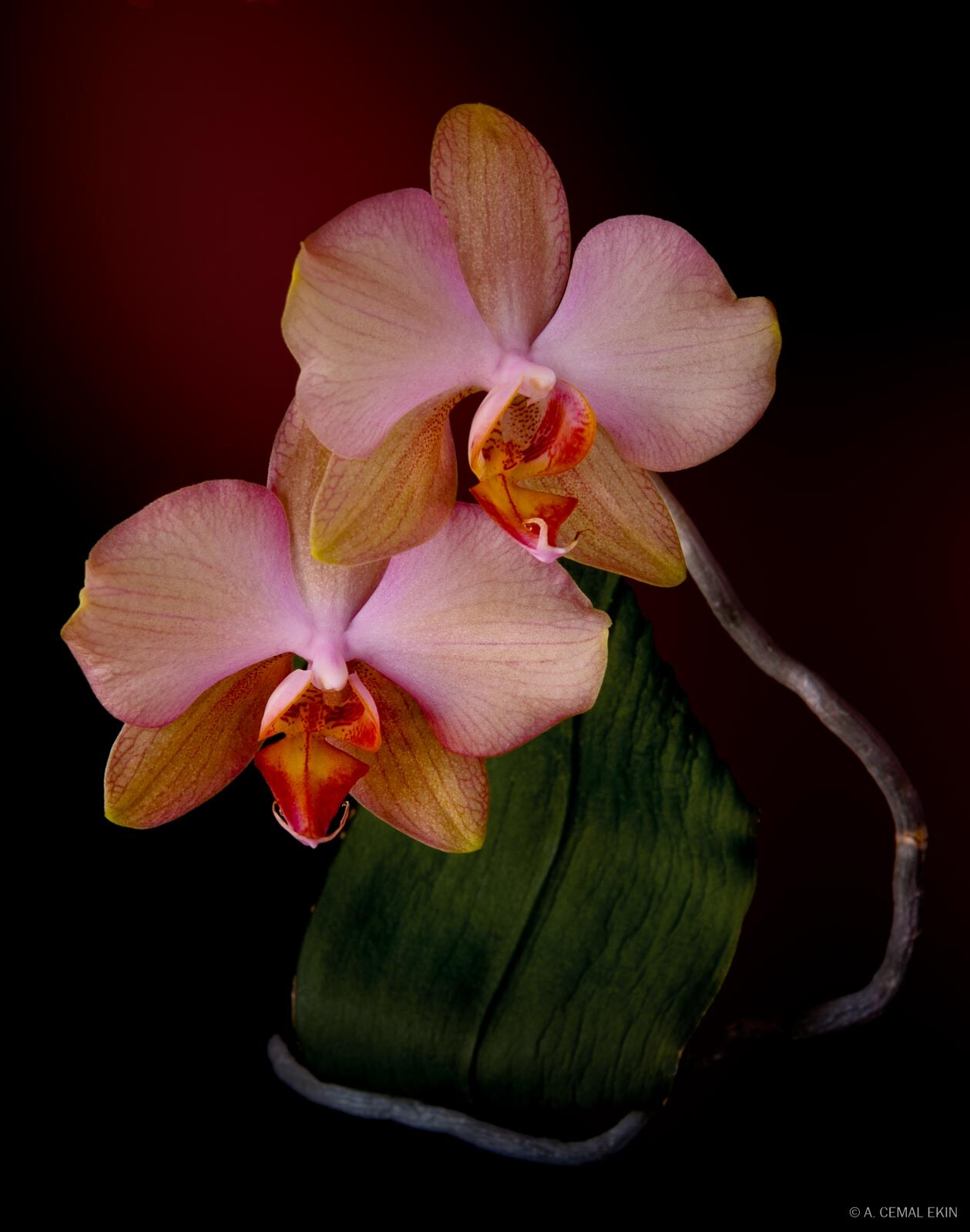 A Pair of Orchid Blossoms