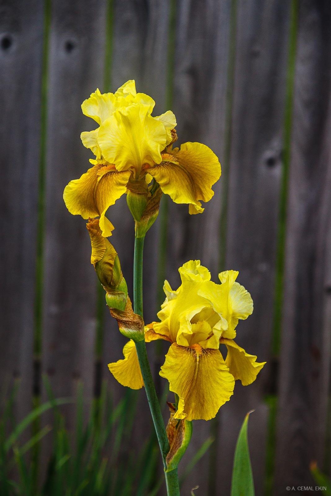 Yellow ireses