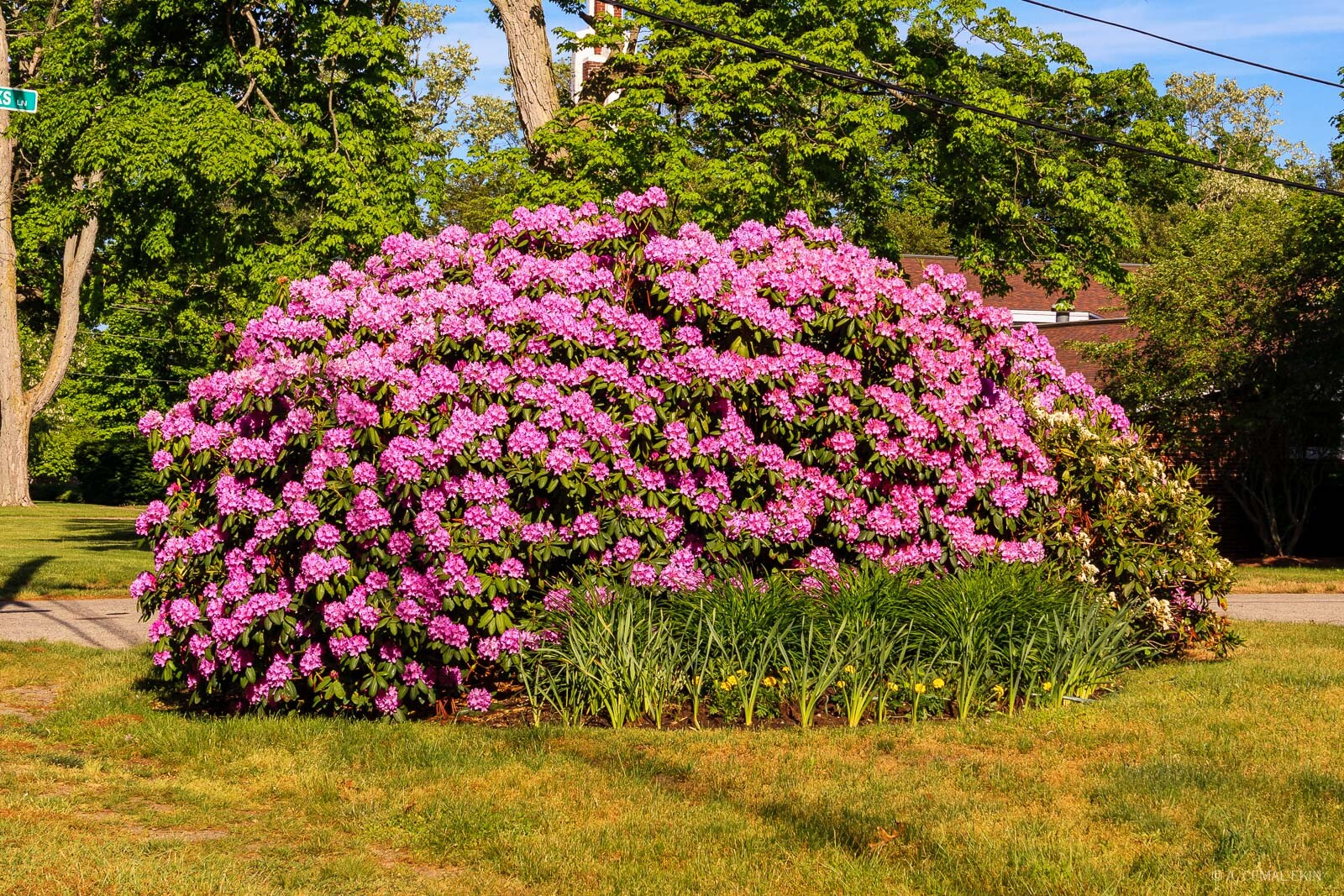 Rhododendron clump