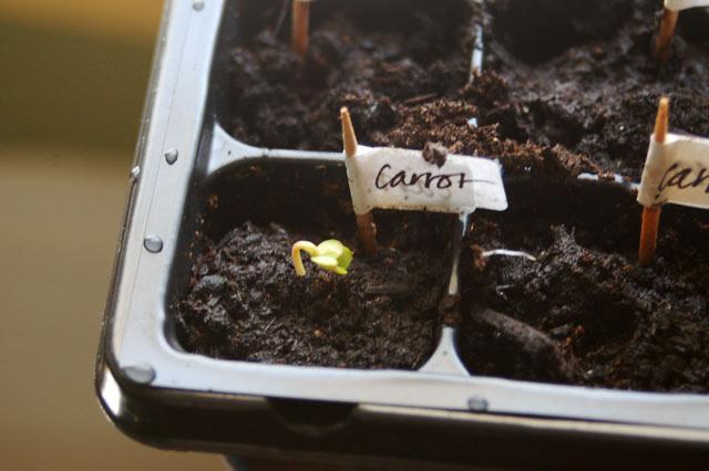 carrotseedling.jpg