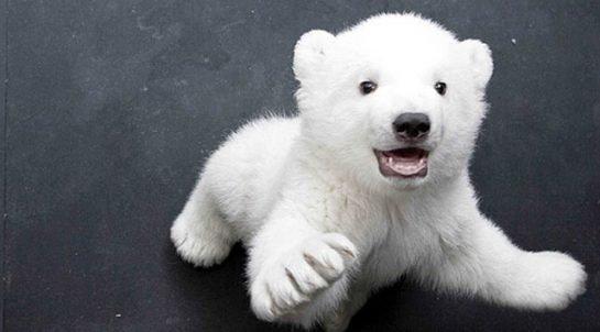 Kutup Ayılarının Soğuktan Korunmasındaki Sır