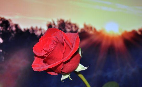 Bu Güllerin Sadece Kokusunu Alamazsınız (24 Resim)