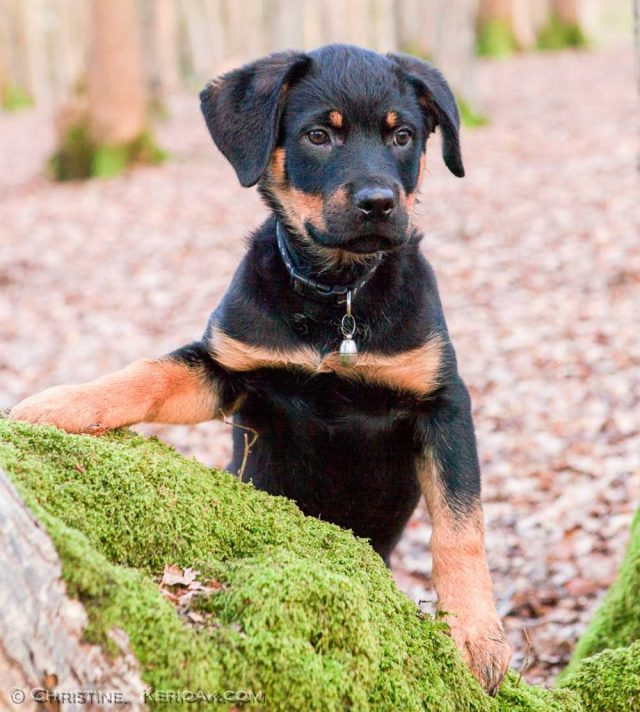 Rotweiller Puppy with Front Legs on a Tree A very cute twelve week old rottweiler puppy standing on his hind legs and with his front legs supported on th e mossy tree trunk, he is wearing a collar with a barrel name tag and looking slightly to the right of the camera. It is late afternoon and the sun is beginning to set, just giving the faintest of pink hues to the woodland. This would make a great outdoor calendar picture, subject to the appropriate licence of course :) About My Images As I am an independent photographer/artist I can offer options not available elsewhere such as: Downloads can be made available in options other than .jpg Prints, cards, canvas' and other decorative items Often have different angles of subjects that have not been uploaded Available for assignments Licence variations may be available depending on your needs Digital Editing available Please feel free to contact me using one of the options on my Contact Page should you require any variations