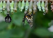 Van cocon naar vlinder