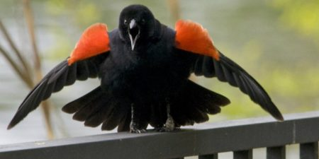 Bird Of The Week: Red-winged Blackbird – Kern Audubon Society