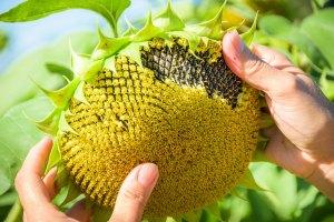 Sonnenblume am Permahof Erhart