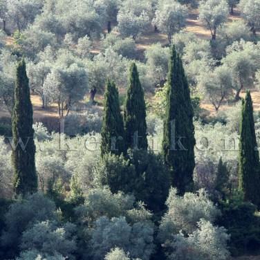 Settignano: a tájat a ciprusokkal tarkított olajfaligetek határozzák meg
