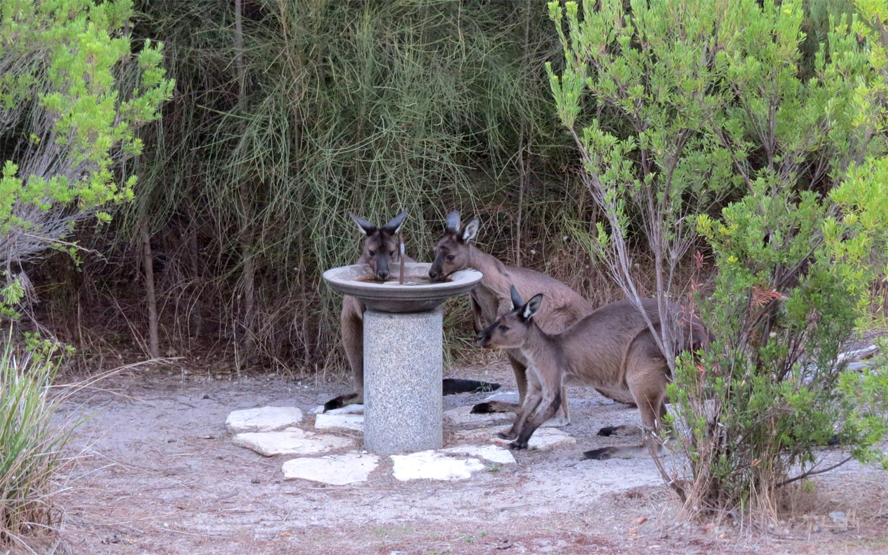 23-KANGAROO-Shy-visitors-at-our-bird-bath