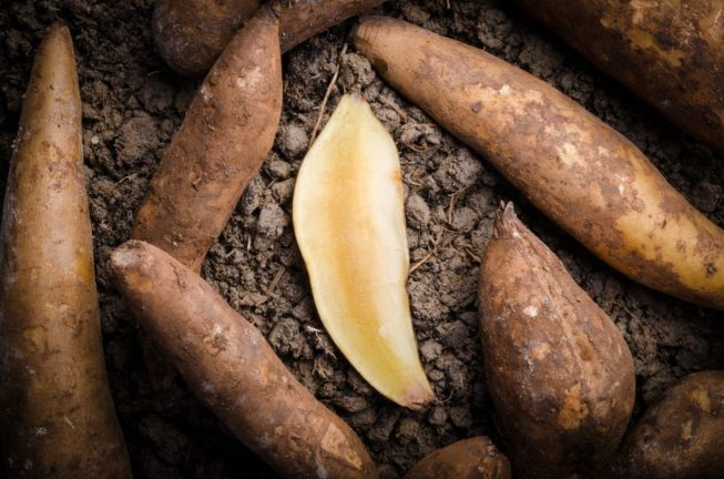 Advantages of Growing Your Own Yacon | keto-vegan.com