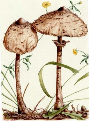 Parasol_mushroom_1994_by_kevcrossley