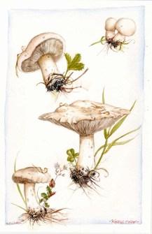 St_Georges_mushroom_by_kevcrossley