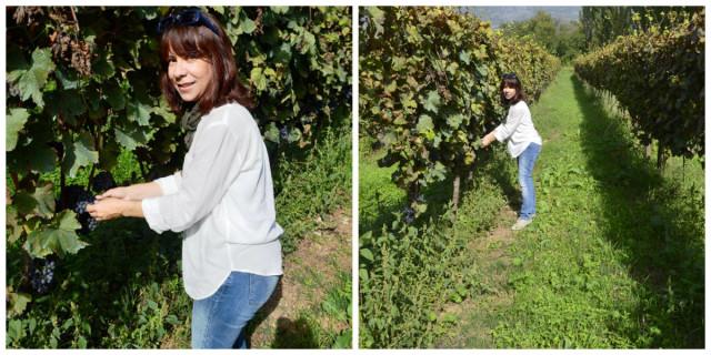 Colhendo uva numa vinícola na Itália