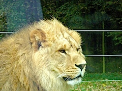 Lion at Longleat