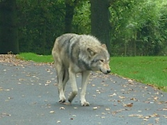 Wolf at Longleat