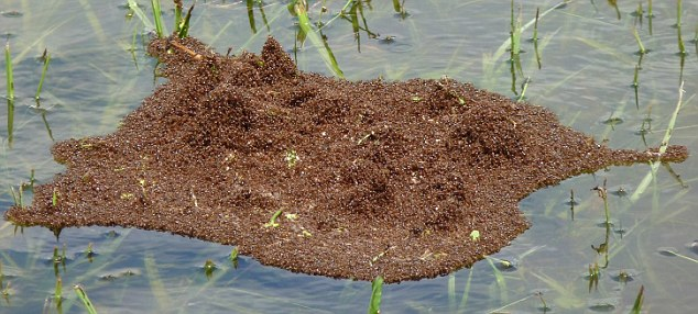 South American Fire Ants Floating Raft