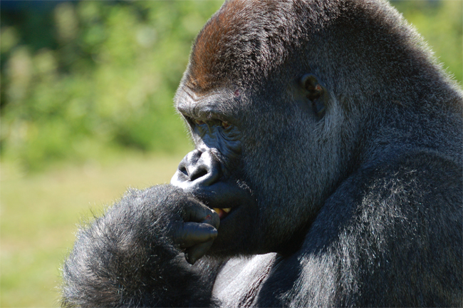 See Gorillas in the Wild
