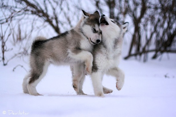 Affectionate Malamute Puppies