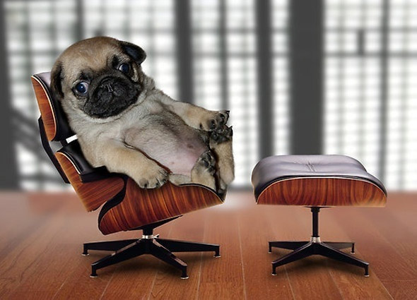 Office Pug