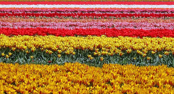 Tulipfield in Holland