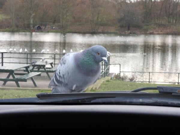 Pigeon on my car bonnet -