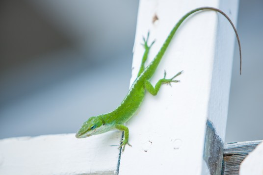 Green lizard in Hawaii.