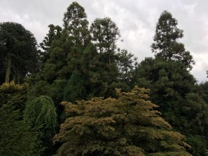 Biddulph Grange top of Pinetum trees